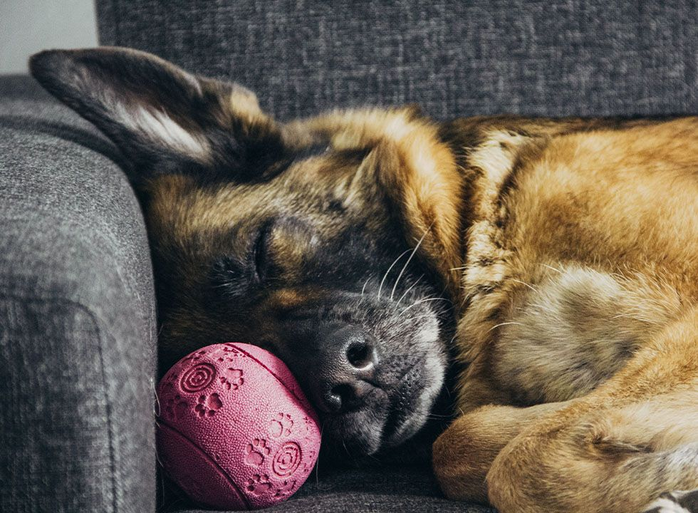 german shepherd dog sleeping with pink ball on gray couch in dog boarding at club canine